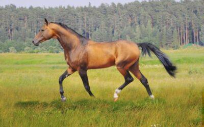 Le président turkmène fait l'apologie des chevaux Akhal-Téké dans un livre